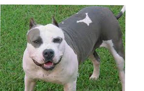 Pit Bulls: An Unnatural Aggression