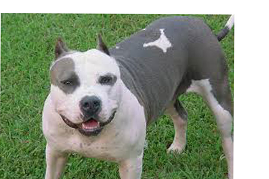 Pit+Bulls+are+not+as+violent+as+people+think.